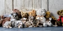 Miniature Australian Shepherd Puppy Pictures Midlothian Masnfield
